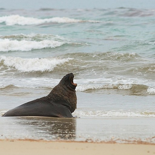 אריה ים ענק