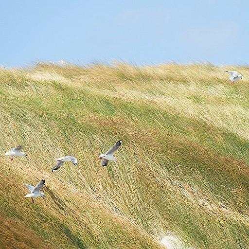 הדיונות לאורך החוף. המוני שחפים נאבקים ברוח החזקה במיוחד (אופיינית ל- Mason Bay)