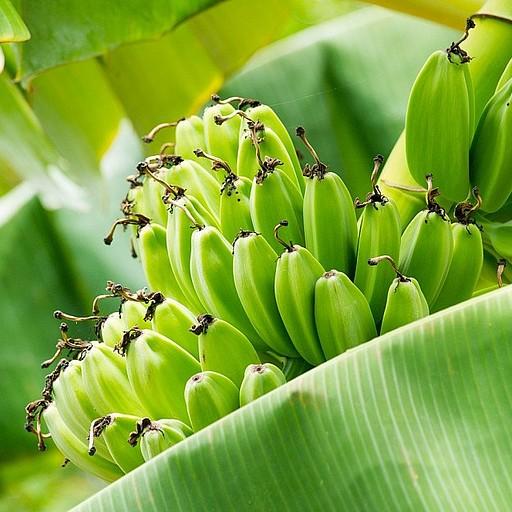עצי בננות בדרך לכפר הדייגים