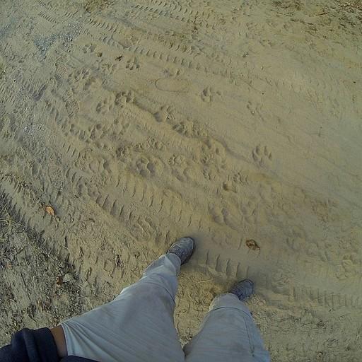 עקבות טיגריסים טריות - תמצאו כאלה על כל השבילים!