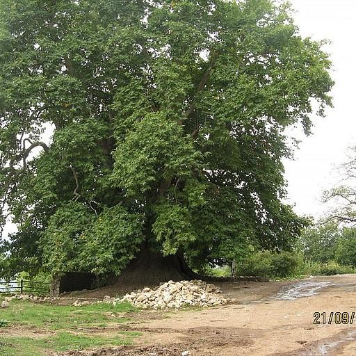 עץ הענק טנג'רי
