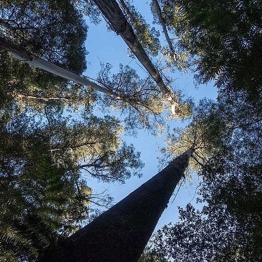 העצים השניים בגובהם בעולם.