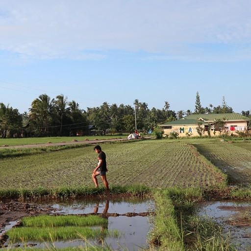 שטחים ירוקים שמגדלים בהם אורז