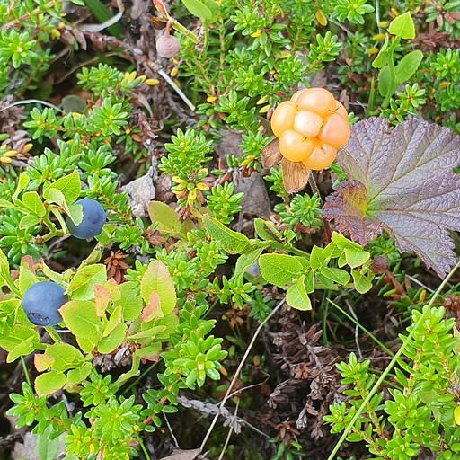 מימין - Cloudberry, פרי יער ממש טעים ודי נדיר. חצי מהטיול רק חיפשנו כאלה...