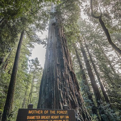"""""""אם היער"""" - עץ בגובה של כמאה מטרים שפשוט אי אפשר לראות את סופו. הוא היה אפילו גבוה יותר, אבל איבד כמה מטרים לאחר פגיעת ברק לפני מספר שנים"""