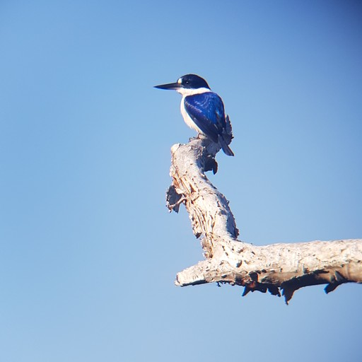 שלדג יער Forest kingfisher