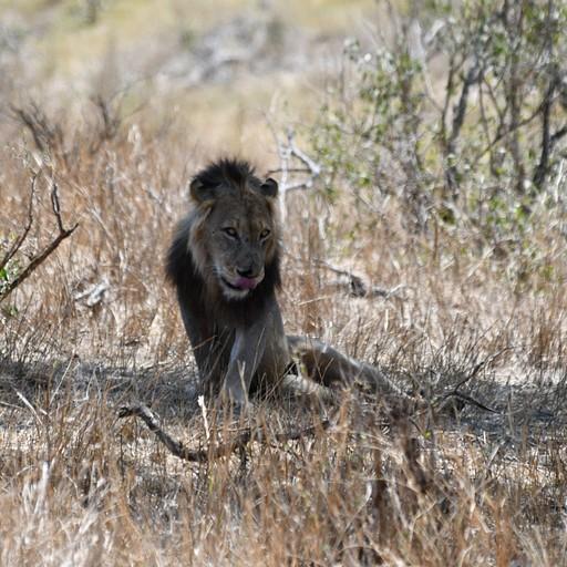 האריה השני באותו היום