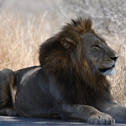 האריה השלישי באותו היום