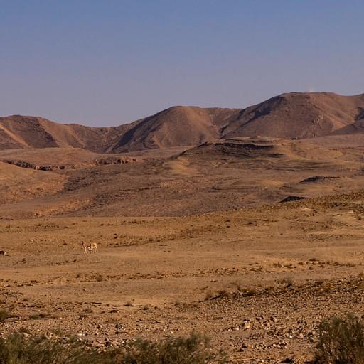 עדר פראים (בקטן), על רקע הר עריף