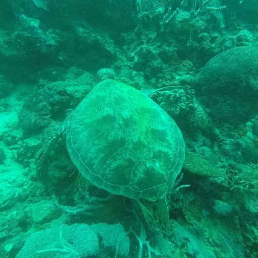 צב ים בצלילה במואל בואל