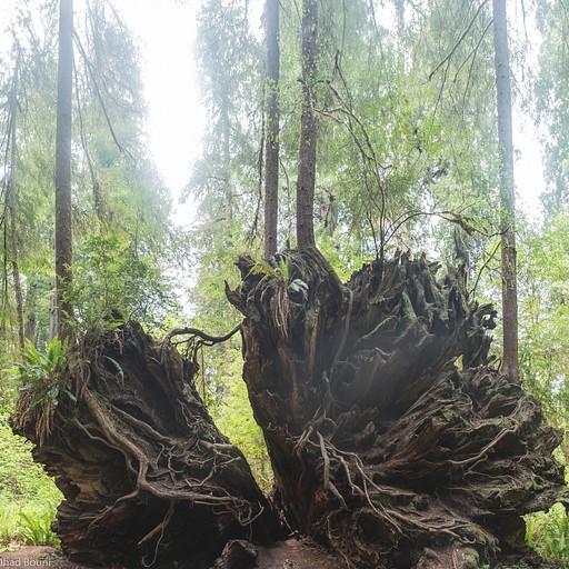 העץ הזה כלכך גדול שכשהוא נפל היה מספק מקום עליו כדי שיצמחו עליו עצים!