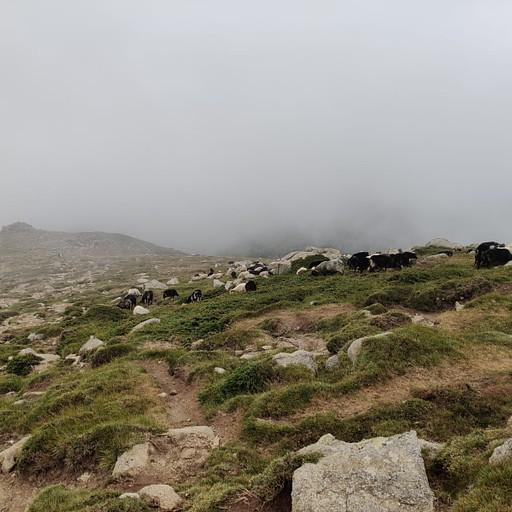 עדר במקטע 8
