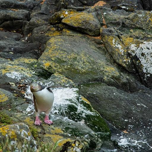 פינגווין מתמתח אחרי יום ארוך של שחייה בkatiki point שליד מוארקי
