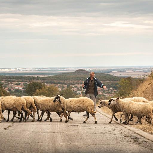 כבשים חוצות את הכביש