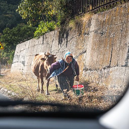 בולגריה מבוגרת והפרה שלה