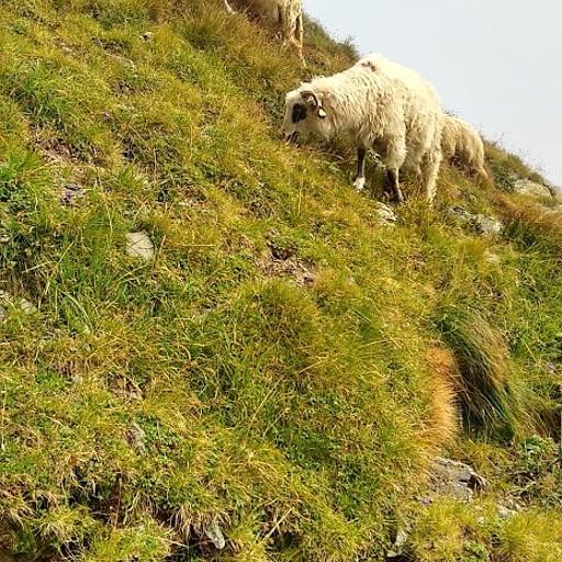 כבשים במסלול