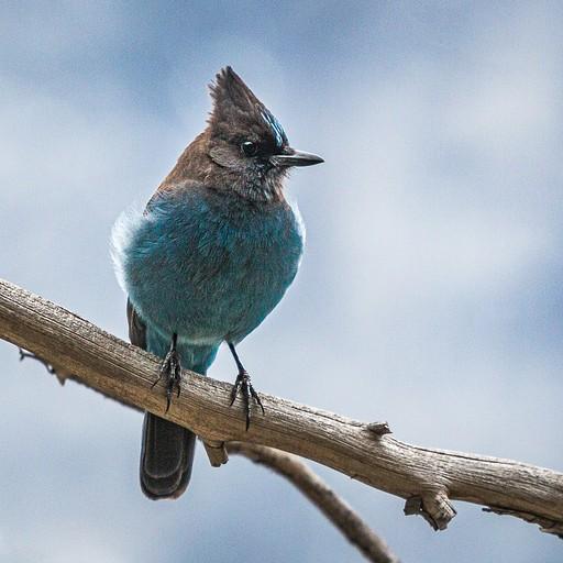 ציפור כחולה מהממת מסוג Steller's Jay