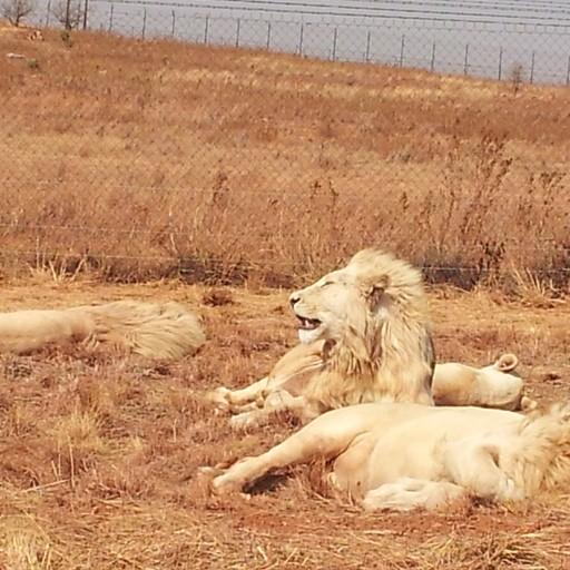 אריות לבנים בפארק האריות