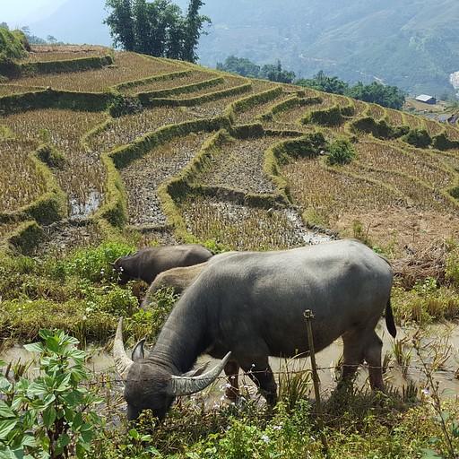 שדות האורז