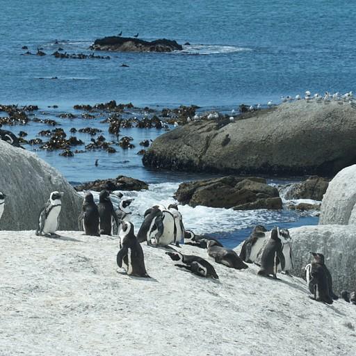 פינווינים בBoulders Beach