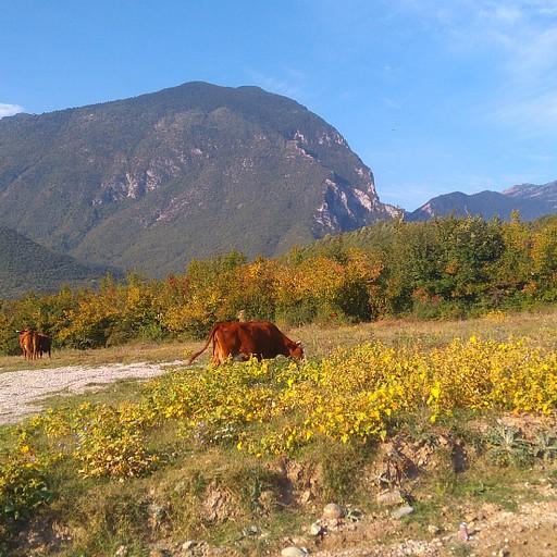 פרה מלכחת עשב למרגלות ההרים המקוללים