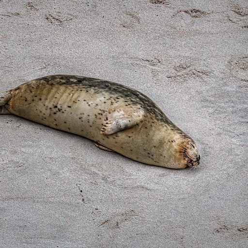 כלב ים ישנוני