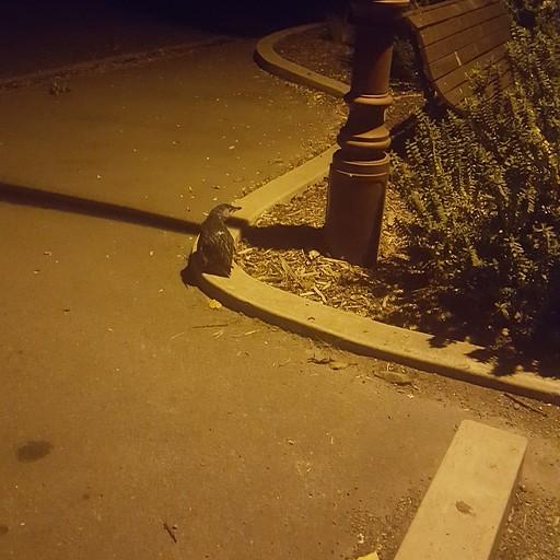 פינגווין כחול באמצע הרחוב