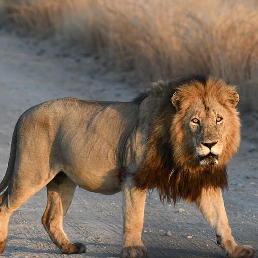 אריה מסיור הזריחה