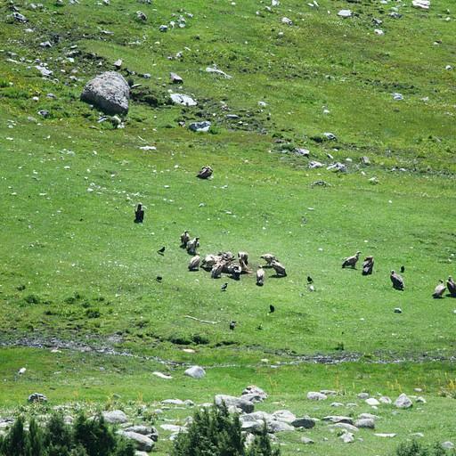 נשרים ועזניות שחורות על פגר של פרה