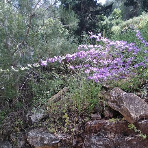 הפריחה המרהיבה על התבור