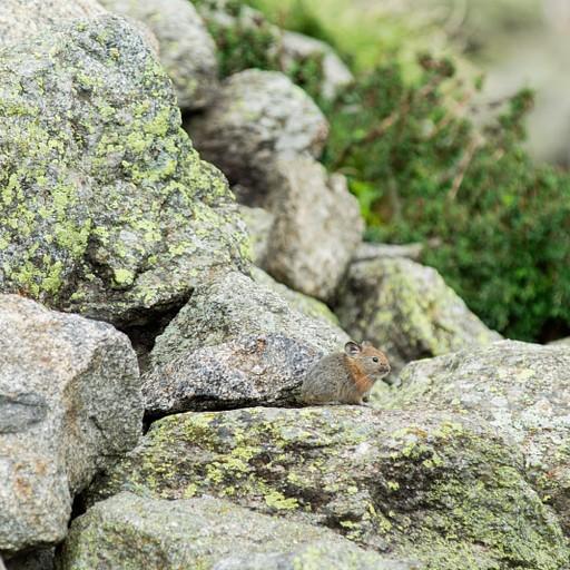 Himalayan rat