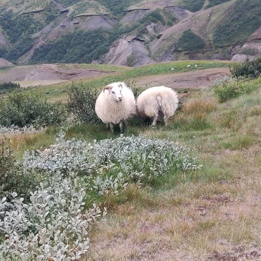 מלא כבשים!!!!