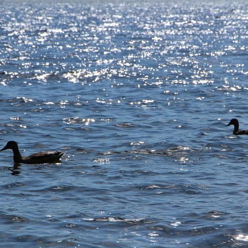 אגם הברווזים