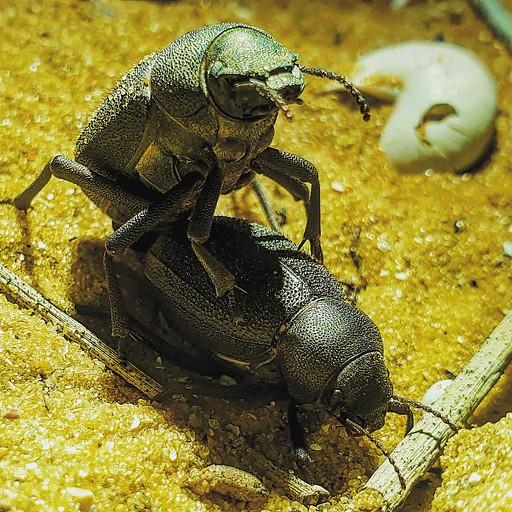 חיפושיות שחאוריות מזדווגות