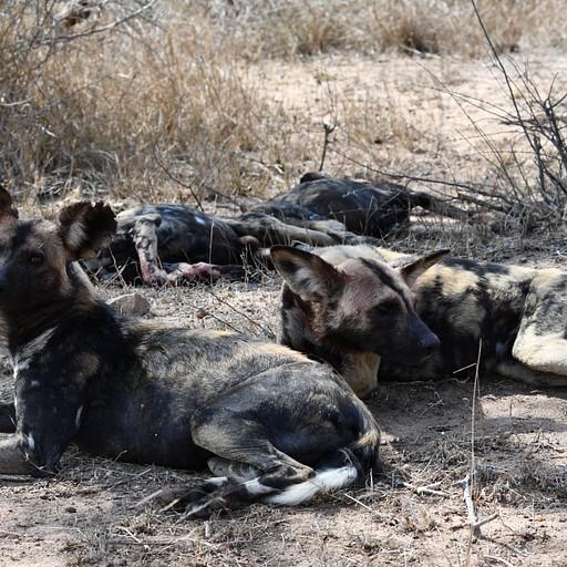 זאבים טלואים (Wild Dogs)