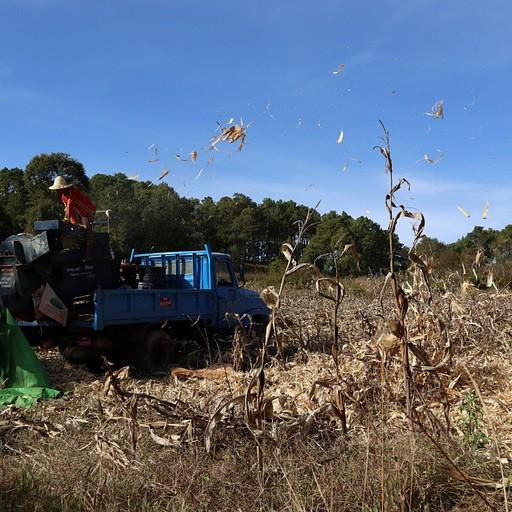 מפרידים את התירס בשדות, בדרך לאינלה לייק