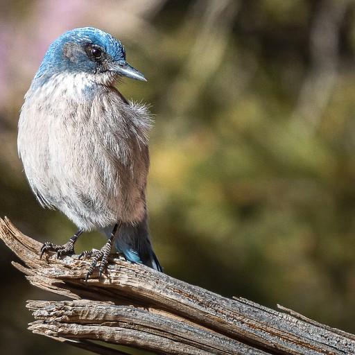 ציפור מסוג Scrub Jay