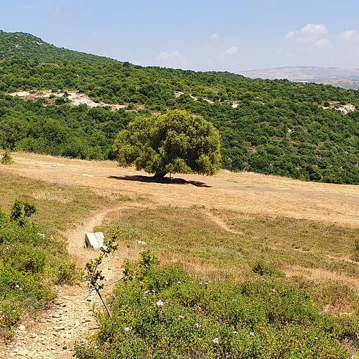 עץ האלון של עין הזקן