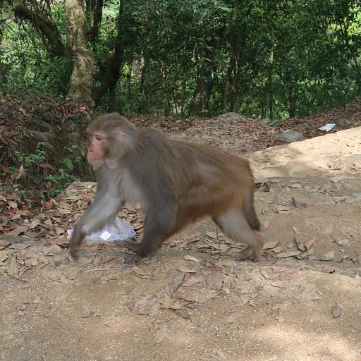 קוף בשמורת הshivapuri