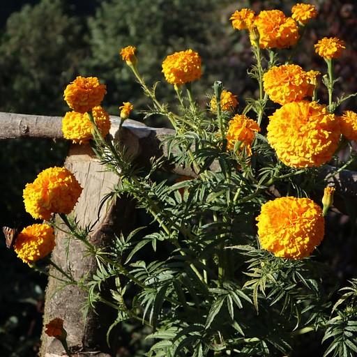 עדנית פרחים במרפסת עם נוף מדהים לפסגות המושלגות