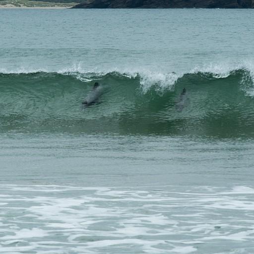 דולפינים גולשים בcurio bay