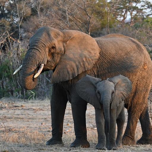 עדר הפילים בסיור הזריחה