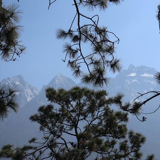 עצי אורן עם הרים מושלגים